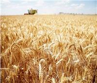 الزراعة تكشف عن تقنية حديثة للنهوض بمحصول القمح