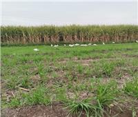 «موسم الخير»| بدء توريد محصول قصب السكر في المنيا 