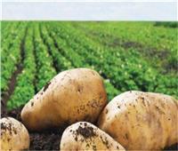 لمزارعي البطاطس.. خطوات تسجيل الأراضي لاعتمادها خالية من «العفن البني»