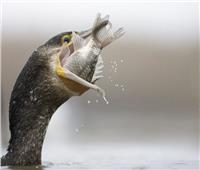 يغوص 20 مترا ويلتهم نصف كيلو.. من يكافح «سفاح الأسماك» ببحيرة البردويل؟