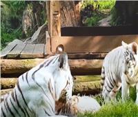 «الصحة الحيوانية»: نفوق نمرة بيضاء نادرة.. وكورونا قد يكون السبب