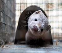 """عالمة فيروسات صينية ترجح أن يكون حيوان """"المنك"""" العائل الوسيط لكورونا"""