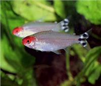 تعيش في البحر الأحمر.. سمكة تلد ولا تبيض| فيديو