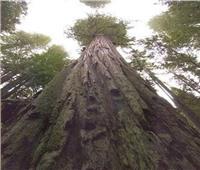 عمرها أكثر من 100 عام.. تعرف على أطول شجرة في العالم 