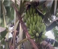 مزارعي الموزبالقليوبية: نقص الوعي سبب عرقله التصدير