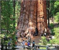 «جنرال شيرمان».. الشجرة الأضخم في العالم