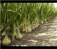 «الزراعة» تصدر توصيات لمزارعي محصول البصل يجب مراعاتها خلال فبراير