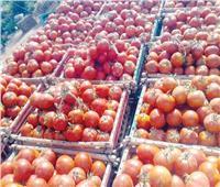 نقيب الفلاحين: ثمار الطماطم آمنة ولا علاقة لها بغش التقاوي