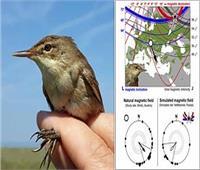 دراسة: الطيور تستخدم المجال المغناطيسي للأرض لتصحيح مسارها عندما تضيع