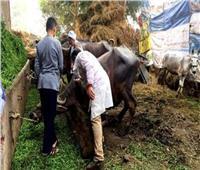 تحصين ١٢٤ ألف رأس ماشية بالشرقية ضد الحمي القلاعية والوادي المتصدع