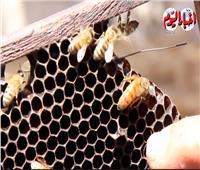 فيديو  «لسع النحل».. يشفي الأمراض وله فوائد عديدة ..تعرف عليها
