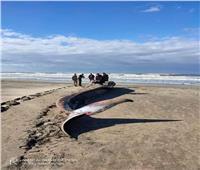 صور | العثور على  ثاني أكبر حيوان على سطح الأرض بعد الحوت الأزرق