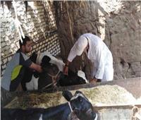 بيطري المنوفية: تحصين 266ألف و 600رأس ماشية ضد مرض الحمى القلاعية