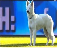 بالفيديو  كلب يقتحم مباراة بين زيورخ وسيون