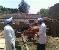 تحصين 36 ألف رأس ماشية ضد الحمى القلاعيةبأسيوط