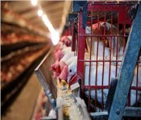 أستاذ علوم أغذية ينصح بذبح الدجاج في هذا التوقيت للتخلص من الأوبئة