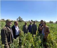 حملة النهوض بالمحاصيل البقولية تقدم نصائحهالمزارعي الفول بأسوان