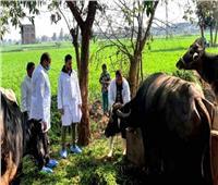 تحصين 318 ألف رأس ماشية بالشرقية ضد الحمى القلاعية والوادي المتصدع