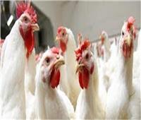 أسعار الدواجن في الأسواق اليوم..الدجاج البلدي ما بين ٣٠ إلى ٤٦ جنيها