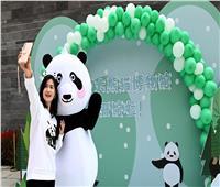 الصين تنشئ متحفا تفاعليا للباندا العملاقة