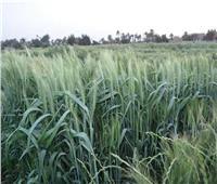 الزراعة تقدم لمزارعي العنب خطوات الاعتناء بالمحصول