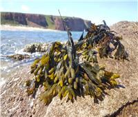 نصائح غذائية | فوائد عشبة بحرية «كنافة البحر أوالفوقس الحويصلي» للتخسيس