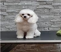 «جليسي» أول كلب منبه لمرض السكري