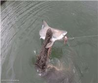 «تمساح ضخم» يلتهم سمكة قرش أمام عدسة الكاميرا