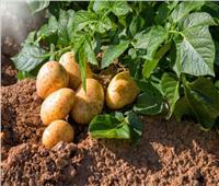 نقيب الفلاحين: تصدير البطاطس المصرية لروسيا يساهم في استقرار الأسعار