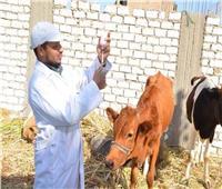 تحصين 266 ألفرأس ماشية ضد مرض الحمى القلاعية بالمنوفية