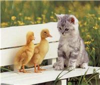 «قط وفأر.. وقطة وبطة».. أغرب الصداقات بين الحيوانات | صور