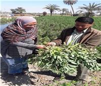 الحملة القومية للنهوض بالمحاصيل البقولية تنفذ يوم حقل لمزارعي الفول البلدي بالفيوم