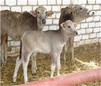 تمويل «مشروع البتلو» بـ4 مليارات جنيه لتسمين 272 ألف رأس ماشية