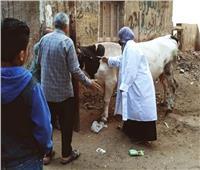 تحصين 444 ألف رأس ماشية بالشرقية ضد الحمى القلاعية والوادي المتصدع