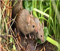 الفئران «ذات الوبر الرمادي» تغزو أستراليا