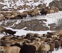 ملايين الأغنام تتحرك لـ «الهجرة الموسمية» في الصين   فيديو