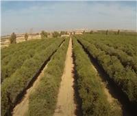 فيديو| البحوث الزراعية: 80 ألف جنيه تكلفة طن بذور الجوجوبا