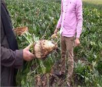 المنيا تستعد لبدء موسم حصاد بنجر السكر