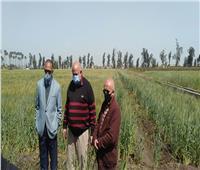«الزراعة»: معهد أمراض النباتات يتابع محصول القمح بمحافظة البحيرة