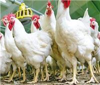 أسعار الدواجن في الأسواق اليوم... الدجاج البلدي بـ32 جنيهًا
