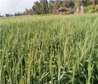 نقيب الفلاحين: سعر توريد القمح مُرضي لمزارعي المنيا