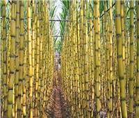 الزراعة : 360 الف فدان حجم زراعات قصب السكر هذا الموسم