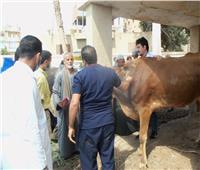 تحصين الماشية ضد الجدري في المنوفية