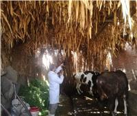 بيطري المنوفية : الانتهاء من تحصين 14 ألف رأس ماشية