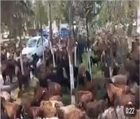دفاعا عن الماشية.. مسيرة بـ«الأغنام» في أوزبكستان