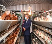 دعم مشروعات الأمن الغذائى فى قنا بـ 47 ألف كتكوت للتربية والتسمين.. صور