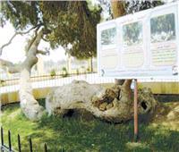 «بهنسا».. بلدة الأسوار العالية وشجرة مريم