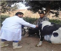 تحصين 37 ألف رأس ماشية ضد «الجلد العقدي وجدري الضأن» في بني سويف