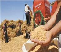 بدء توريد «الذهب الأصفر».. 450 لجنة لاستلام القمح و16 مليار جنيه للمزارعين