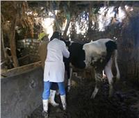 تحصين  143 ألف رأس ماشية ضد الجلد العقدي بالمنوفية